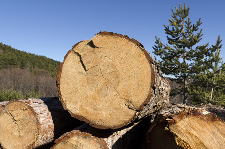 trespasser: Coniferous timber in the Rhodope Mountain Stock Photo