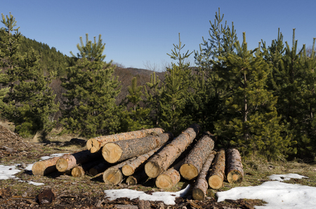 trespasser: Coniferous timber in a mountain during the winter
