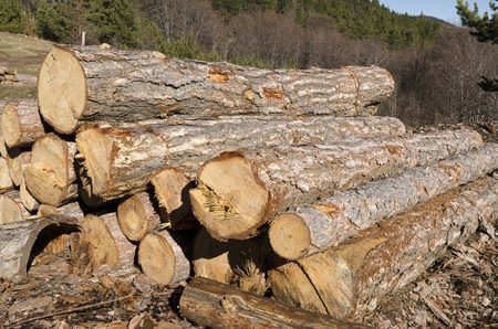 trespasser: Dry trees and stack of coniferous timber in a mountain