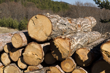 trespasser: Timber of coniferous without marks in the Rhodope Mountain Stock Photo