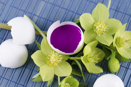 tempera: Easter decoration with egg shell with magenta tempera paint in and hellebore. Selective focus