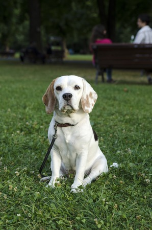 chasing tail: Female beagle waiting for a walk in a park