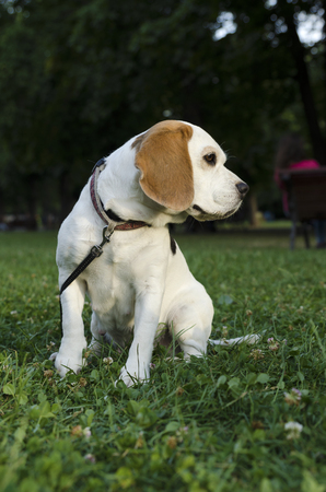 chasing tail: Beagle with leash in a park