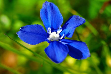 A makro of small blue mountain flower, gentian.