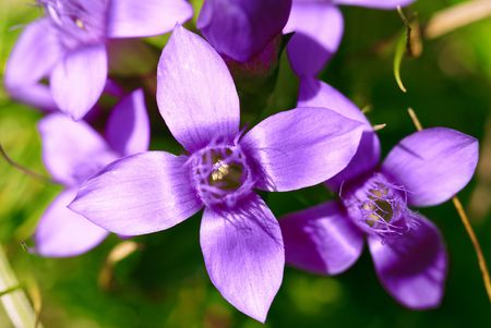 A makro of small mountain flowers, gentian. Stock Photo