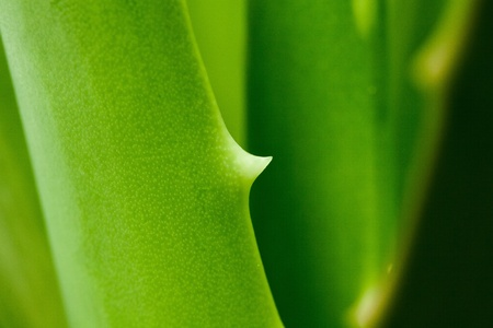 Aloe Vera leaf. Macro closeup.Photo taken on: September 27th, 2011 Stock Photo