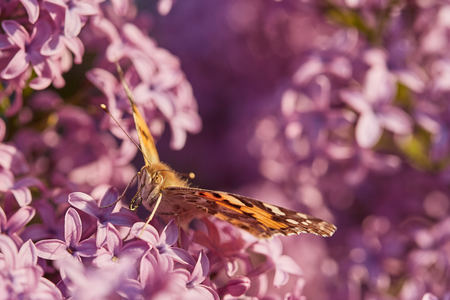 Butterfly painted lady on the flowers of lilac. Vanessa cardui