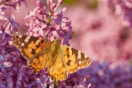 Butterfly painted lady on the flowers of lilac. Vanessa cardui Archivio Fotografico - 122480979