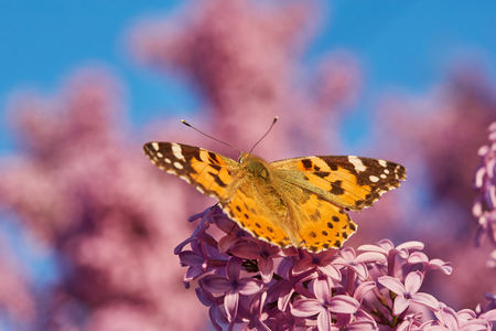Butterfly painted lady on the flowers of lilac. Vanessa cardui Archivio Fotografico - 122480993