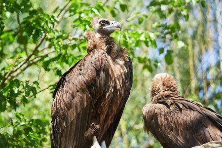 Black vulture. Aegypius monachus