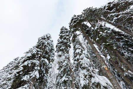Fir trees covered with snow in a mountain forest.