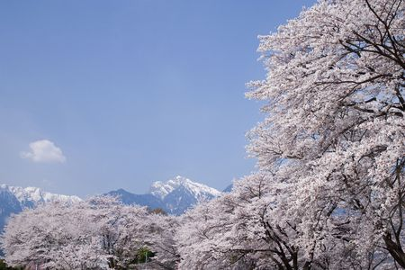 cerezos en flor: Cherry blossoms Foto de archivo