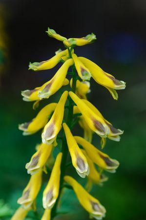 corydalis: Corydalis heterocarpa var. japonica
