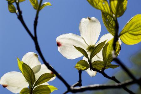 dogwood: Flowering Dogwood Stock Photo