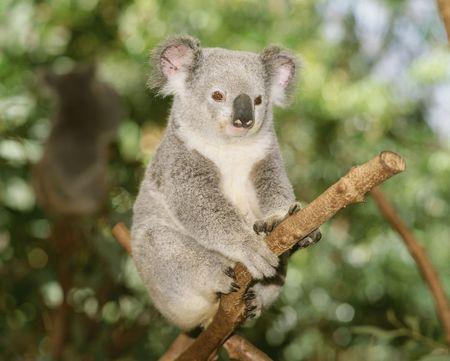 koala: Koala
