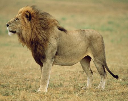 living thing: Lion Stock Photo