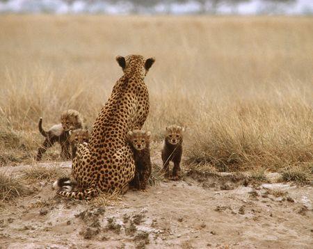 guepardo: Cheetah Foto de archivo