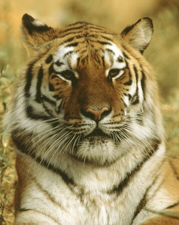 living thing: Tiger