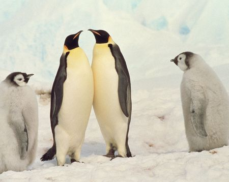 living thing: Emperor penguin Stock Photo