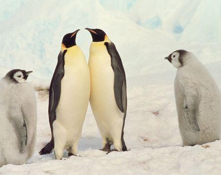 emperor: Emperor penguin Stock Photo