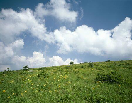 esculenta: Hemerocallis dumortieri var. esculenta