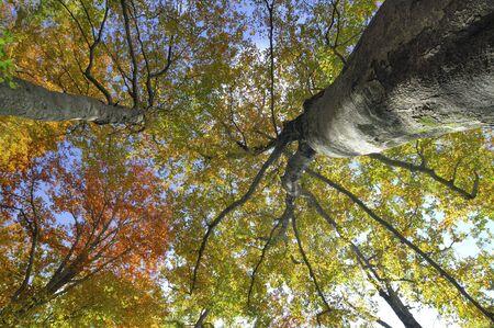 beech tree beech: Beech tree Stock Photo