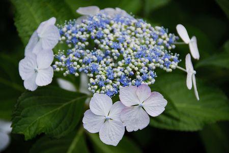 hydrangea: Hydrangea
