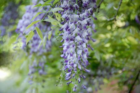 wistaria: Wisteria flowers