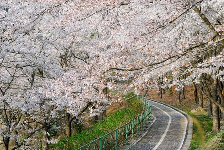 noted: Cherry blossoms Stock Photo