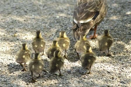 living thing: Spot-billed duck