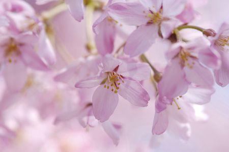 prunus: Prunus spachiana Stock Photo