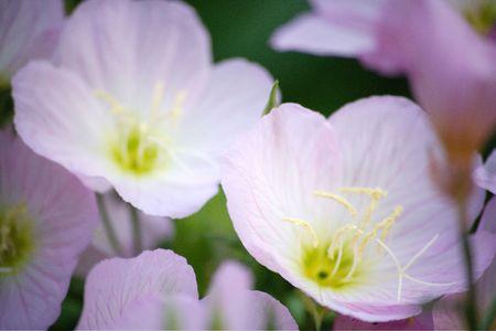 loveliness: Evening primrose
