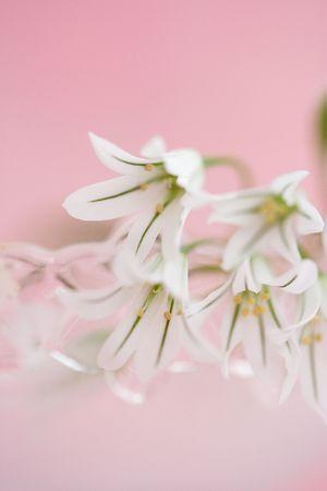 allium: Allium giganteum