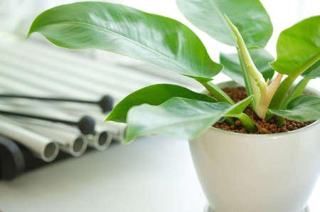 yeşillik: Foliage plant