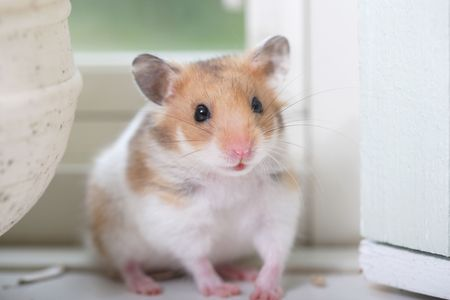living thing: Hamster