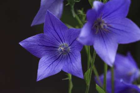 bellflower: Bellflower