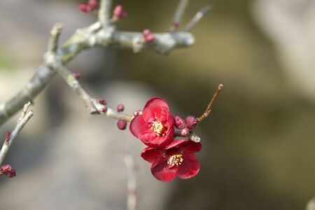 quince: Japanese quince