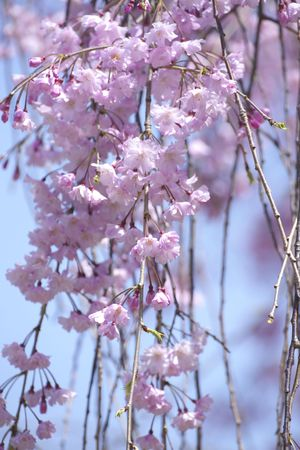 prunus: Prunus spachiana Stock Photo