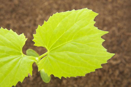 young leaves: Young leaves