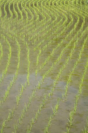 paddy field: Paddy field Stock Photo