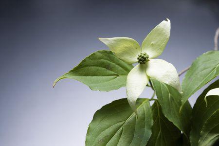 japonica: Benthamidia japonica Stock Photo