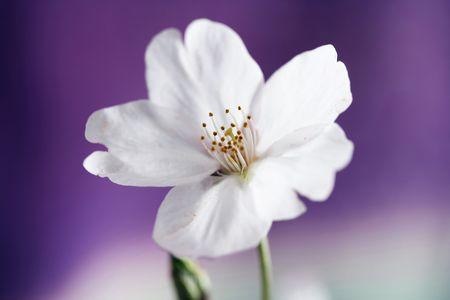 cherry blossoms: Cherry blossoms Stock Photo