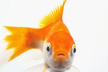 peixe dourado: Peixe-dourado