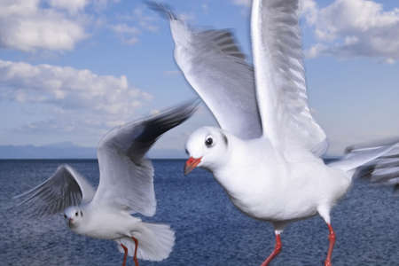 blackhead: Black-head gull