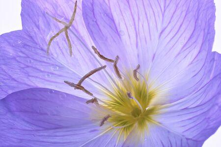 evening primrose: Evening primrose
