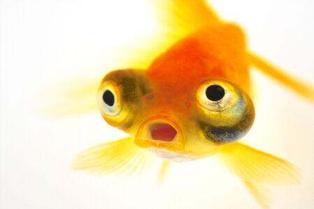 pez dorado: Pez de colores