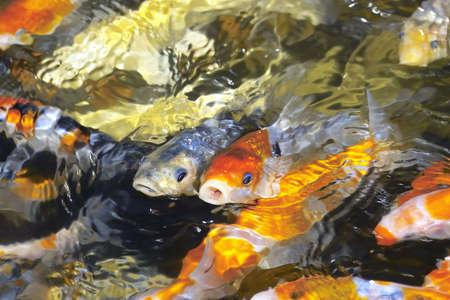 colored: Colored carp