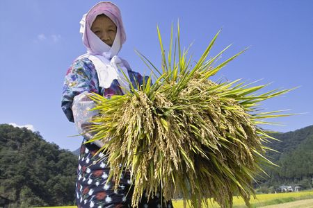 reaping: Rice reaping