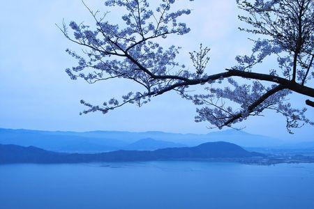 cerezos en flor: Flores de cerezo