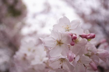 cerezos en flor: Cerezos en flor